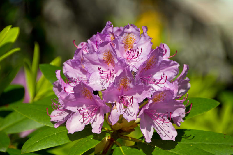 Rhododendrons. Beautiful purple rhododendron bloom in the garden royalty free stock photo