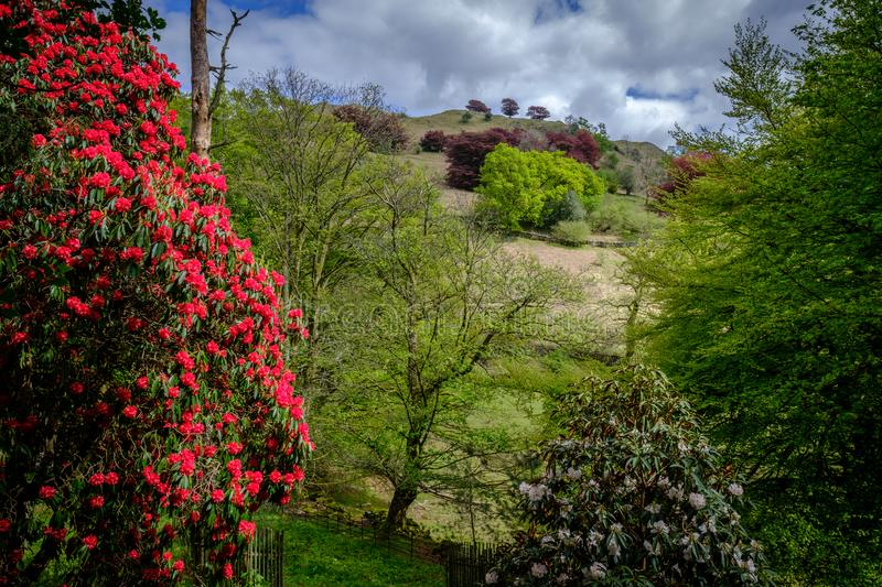 Rhododendrons below Loughrigg Fell. English Lake District stock image