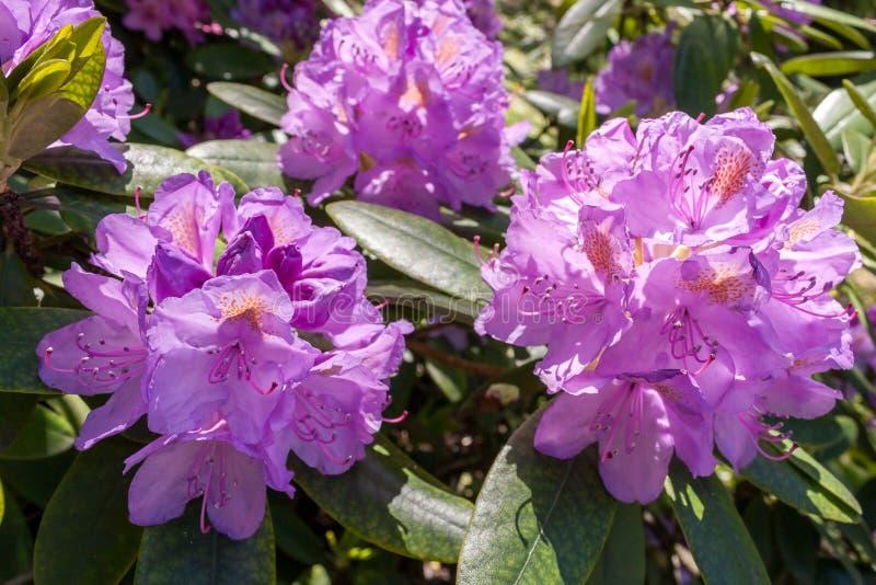 Rhododendrons bloom in Helsinki`s botanical garden. Rhododendrons bloom in June in the Botanical garden of Kaisaniemi University royalty free stock photos
