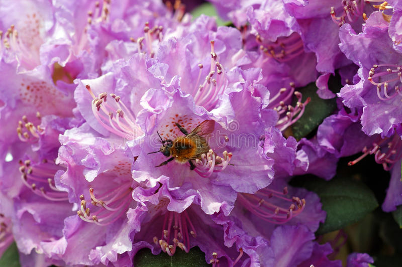 Rhododendrons. Bumblebee on the flower - rhododendrons royalty free stock photos