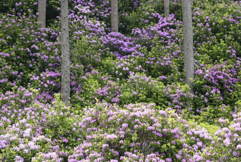 Rhododendrons and Caledonian Pine Fores. T, Coire Roille, Torridon, Wester Ross, Highlands of Scotland, UK stock photos