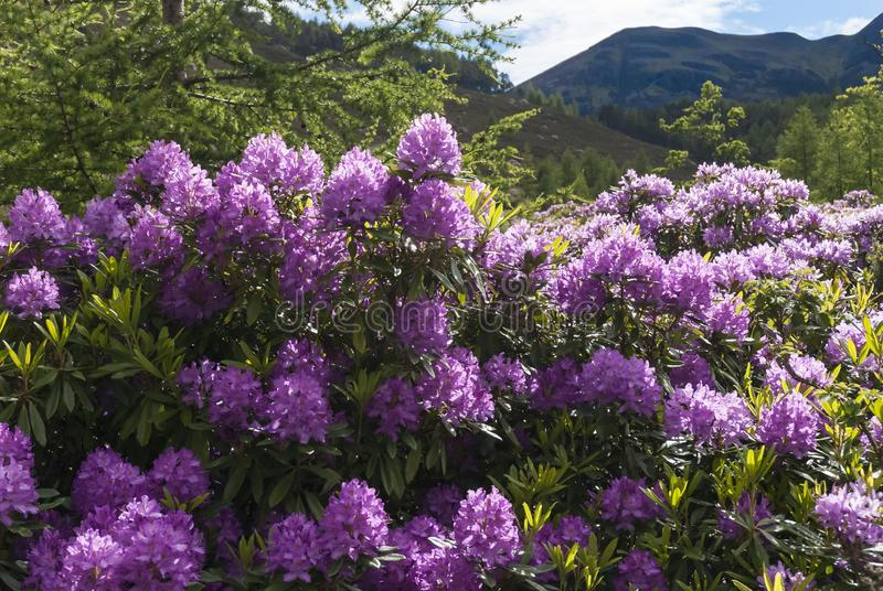 Rhododendrons and Caledonian Pine Fores. T, Coire Roille, Torridon, Wester Ross, Highlands of Scotland, UK royalty free stock photos