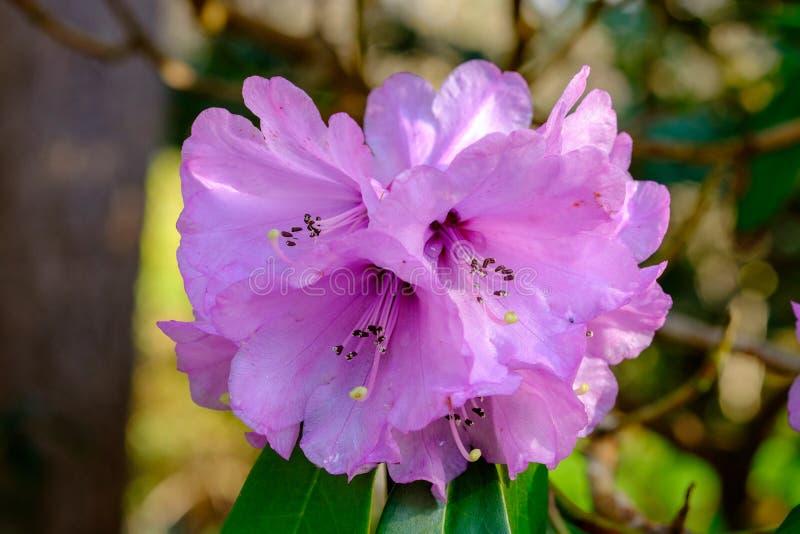 Rhododendrons cor-de-rosa fotografia de stock royalty free