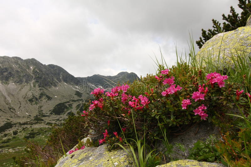 Rhododendrons de montagne photographie stock