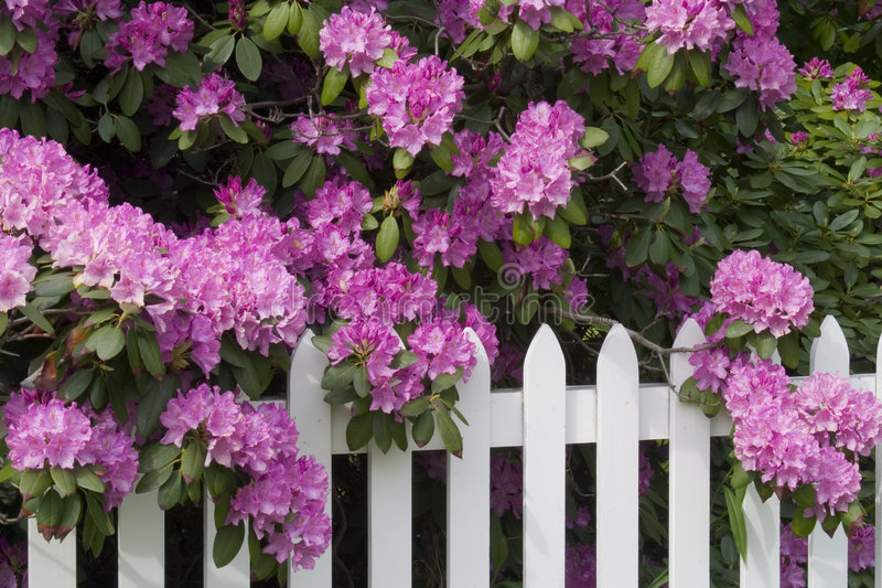Rhododendrons e cerca de piquete fotografia de stock royalty free