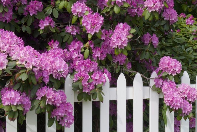 Rhododendrons et frontière de sécurité de piquet photographie stock libre de droits
