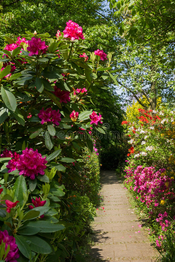 Rhododendrons roses dans le jardin images stock
