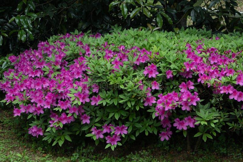 Rhododendronsimsii Planch royaltyfri fotografi