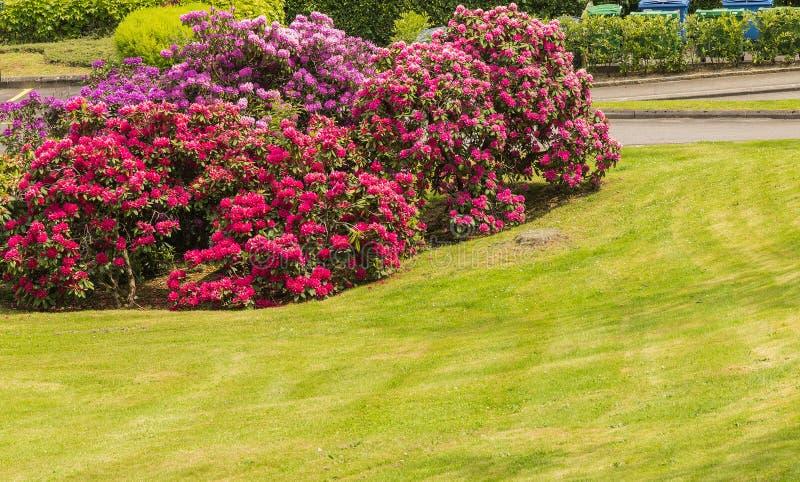 Rhododendronträdgård i grannskap 5 royaltyfria foton