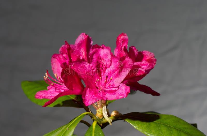 Rhododendrum immagini stock libere da diritti