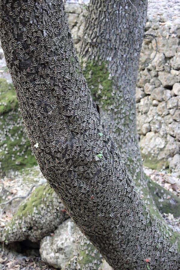 Rhodosensis di quadripunctaria di Euplagia che riposa su un tronco di albero orientale di Sweetgum nella valle di Petaloudes immagini stock