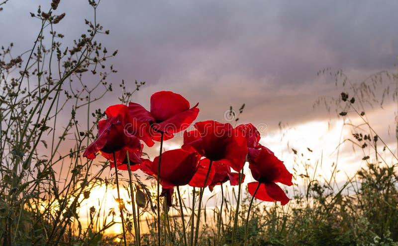Rhoeas del Papaver de la flor del cosmos y luz del sol del cielo en la puesta del sol fotografía de archivo libre de regalías