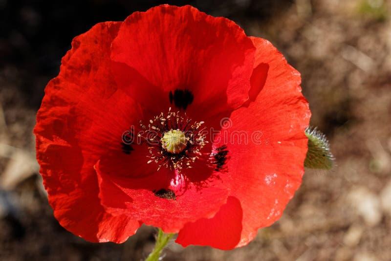 Rhoeas do Papaver da flor da papoila fotos de stock royalty free