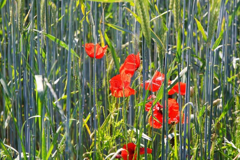 Rhoeas rojos florecientes del Papaver de las flores de las amapolas en el campo de trigo en luz del sol brillante del verano - Al fotos de archivo libres de regalías