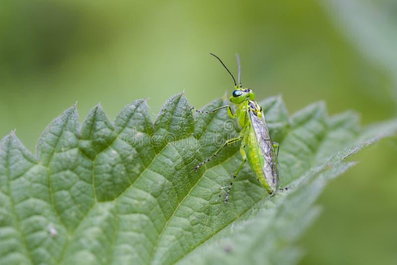 Rhogogaster viridis obraz stock