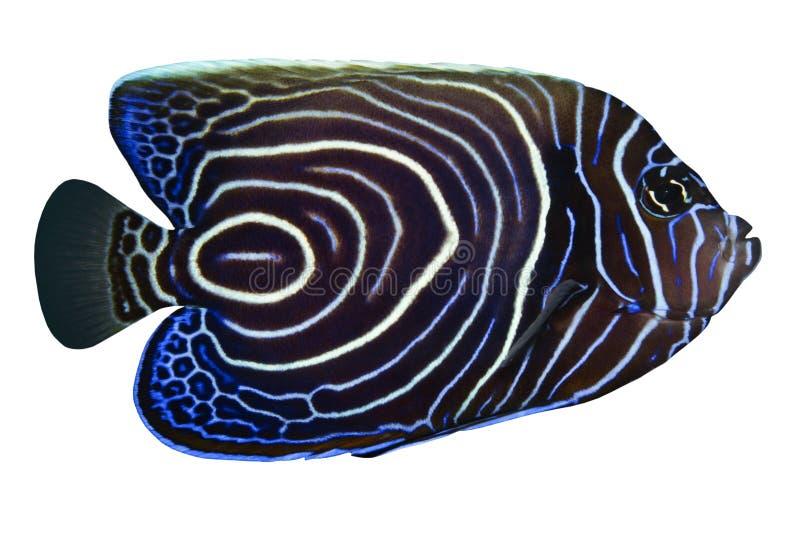 rhom pomacanthus рыб тропическое стоковое фото