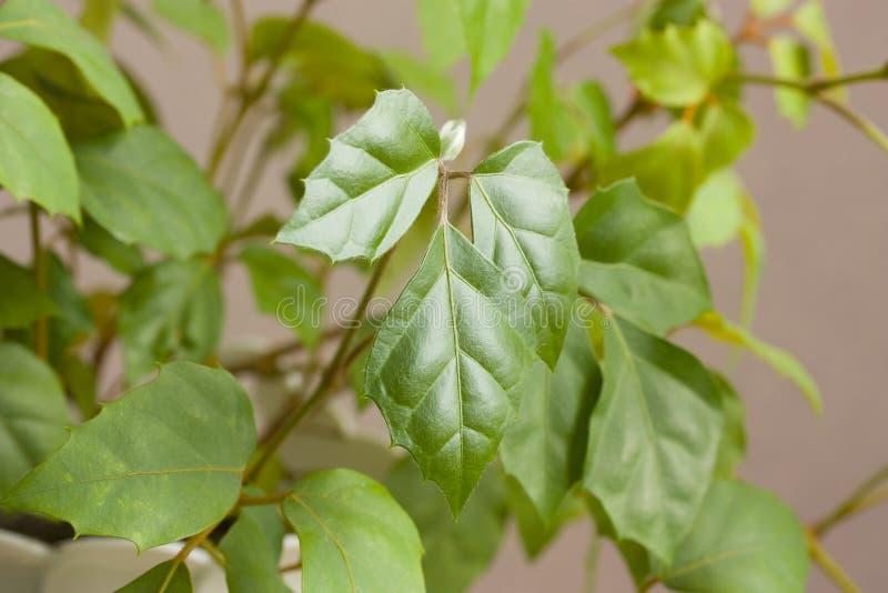 Rhombifolia de Cissus fotos de stock royalty free