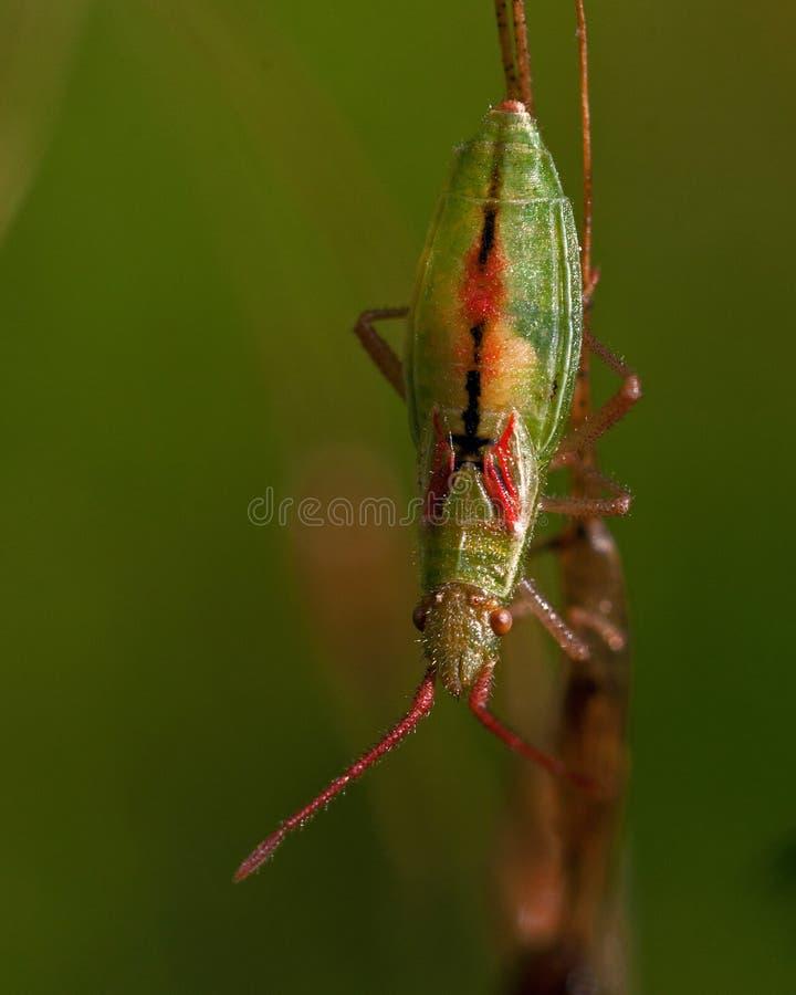 Download Rhopalidae, Heteroptera Myrmus Miriformis 库存照片 - 图片 包括有 绿色, 野生生物: 62527276