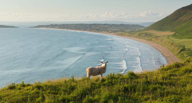 Rhossili beach The Gower peninsula South Wales UK with sheep overlooking the bay stock photography
