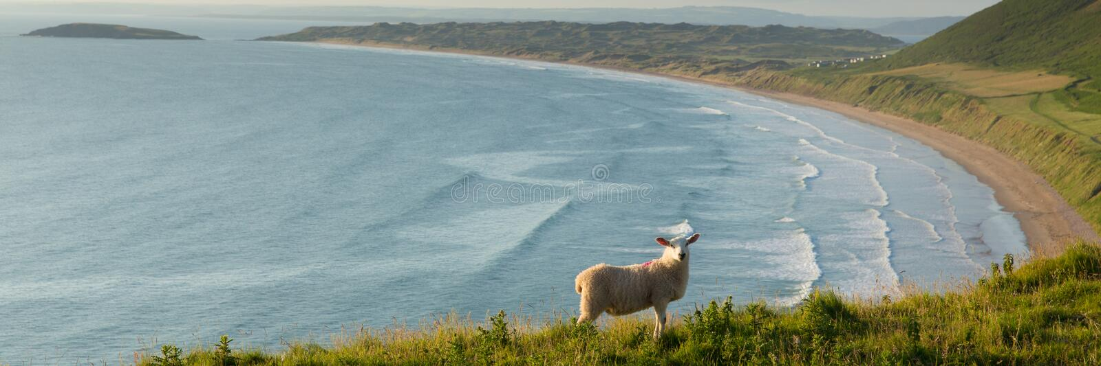 Rhossili beach The Gower peninsula South Wales UK with sheep panorama royalty free stock photo