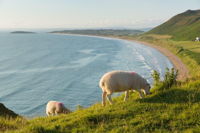 Rhossili la península el Sur de Gales Reino Unido de Gower con las ovejas que pasan por alto la bahía fotografía de archivo libre de regalías