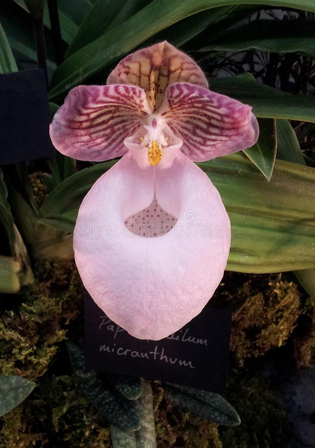 RHS ORCHID SHOW, London royalty free stock image