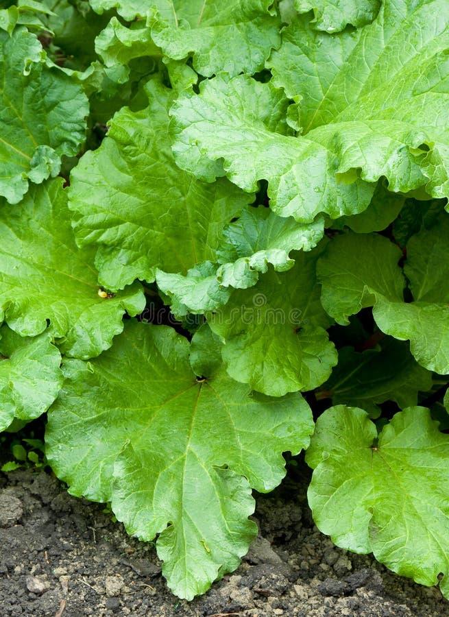 Free Rhubarb Royalty Free Stock Image - 14743886