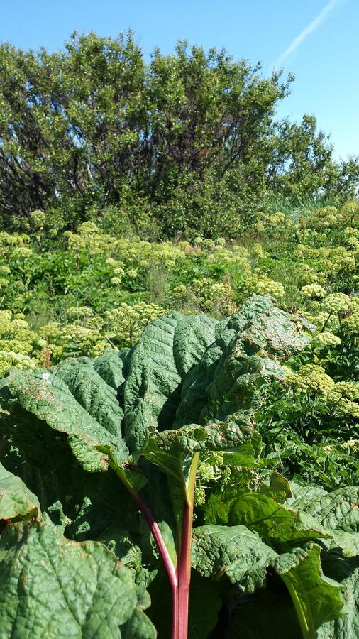 Rhubarb and angelica. Rhubarb, angelica an tree field stock images