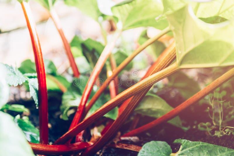 Rhubarb crece en el jardín durante la primavera imagenes de archivo