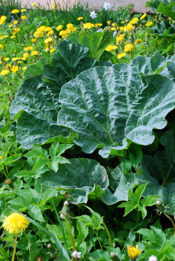 Free Rhubarb Leaves Stock Photo - 17910910
