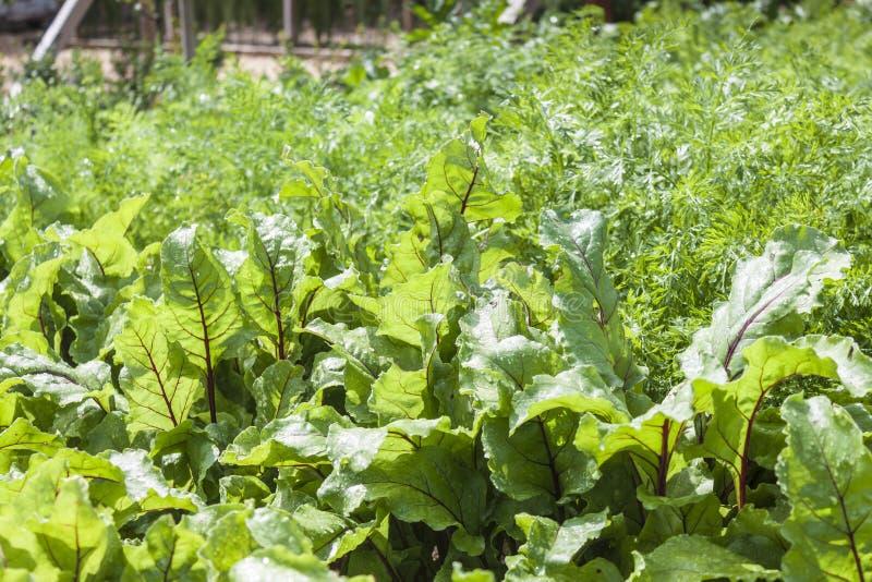 Rhubarb Leaves royalty free stock photos
