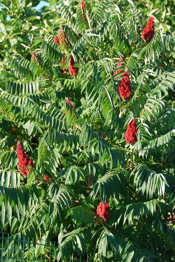 Rhus typhina. Or staghorn sumac is a shrub or a small tree, planted in gardens and parks because of its decorative drupes. Its usefulness for making a lemonade stock photo