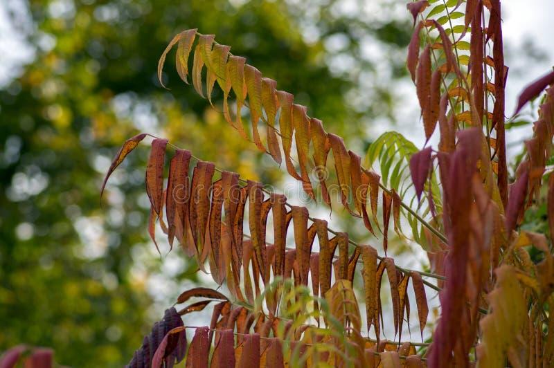 Rhus typhina jesieni jaskrawy kolor opuszcza na gałąź obrazy royalty free