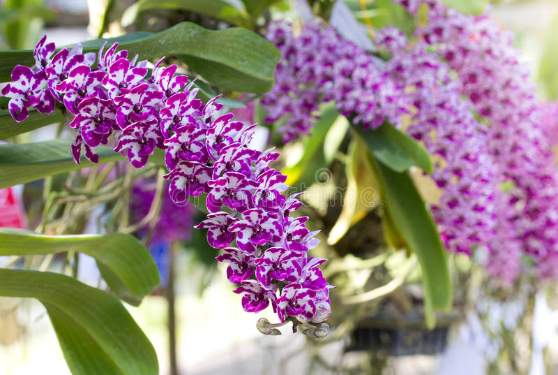 Rhynchostylis Gigantea orkidéblomma royaltyfri bild