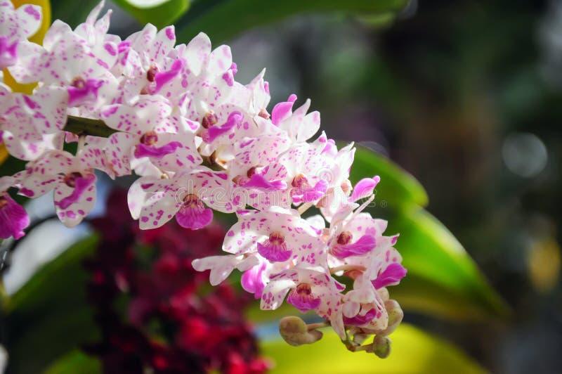 Rhynchostylis giganteaorkidé i blom på den Chiangmai blommafestivalen 2019 royaltyfria foton