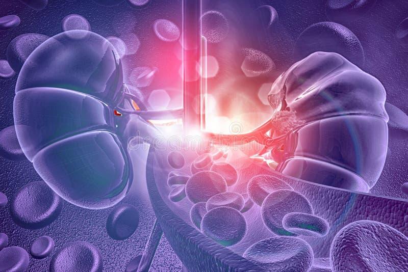Riñón humano con los glóbulos stock de ilustración