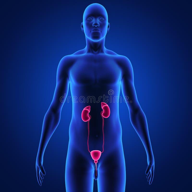 riñones stock de ilustración