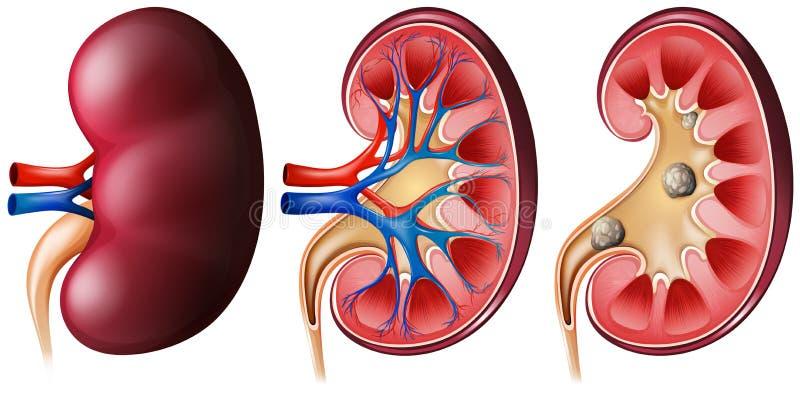 riñones ilustración del vector