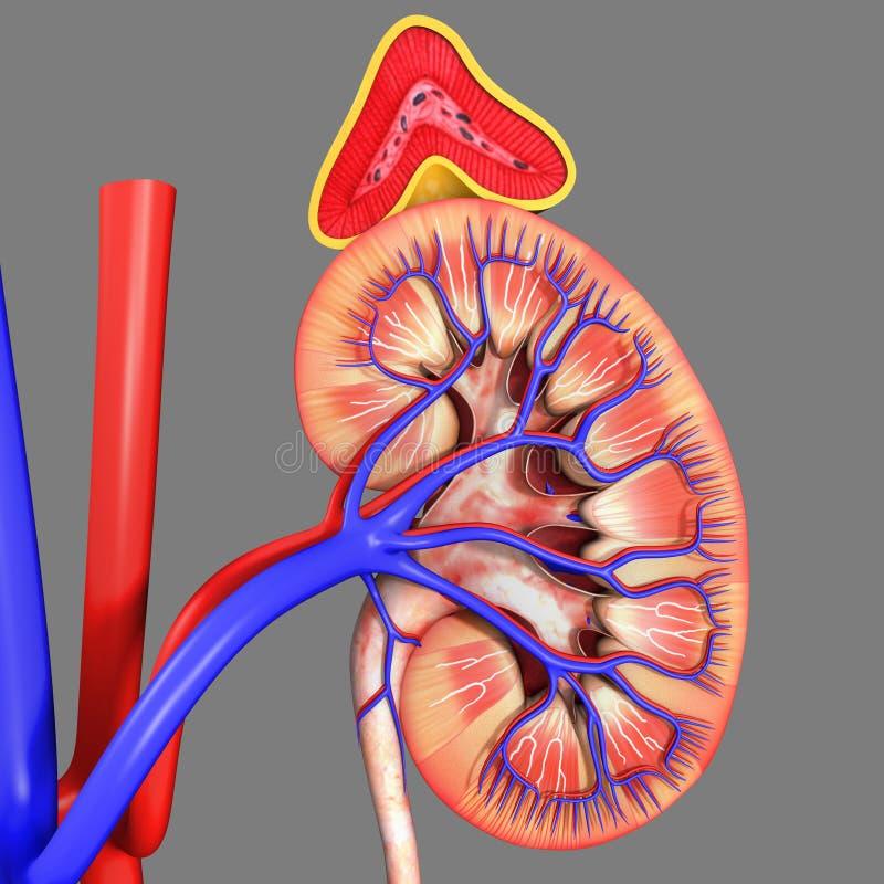 Riñones con las glándulas suprarrenales ilustración del vector