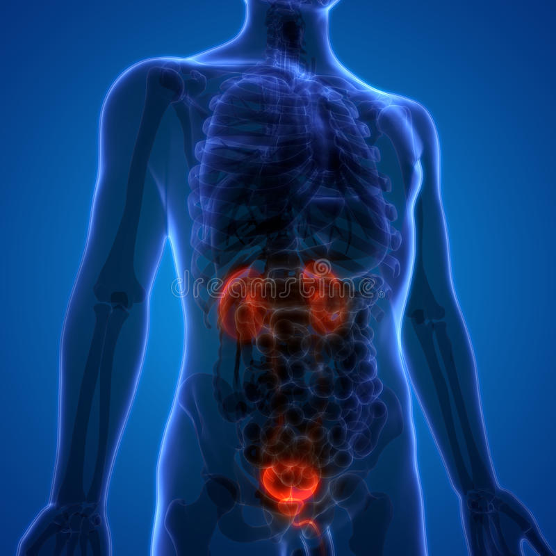Riñones de los órganos del cuerpo humano con la vejiga urinaria ilustración del vector