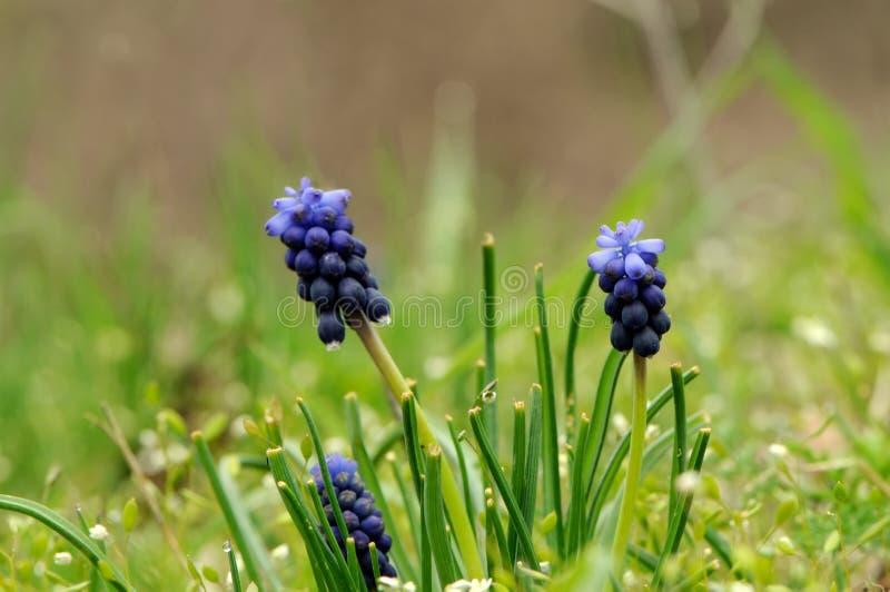 ri del ¡ di Muscà dei fiori in una radura della foresta in molla in anticipo fotografia stock libera da diritti