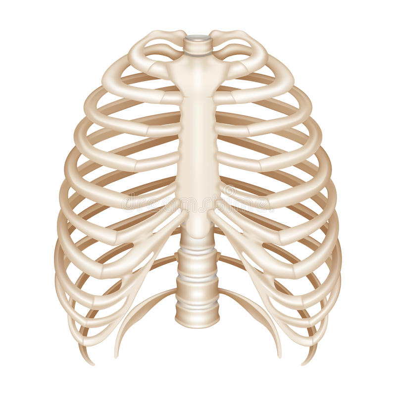 Royalty Free Stock Photography Rib Cage Image13250227