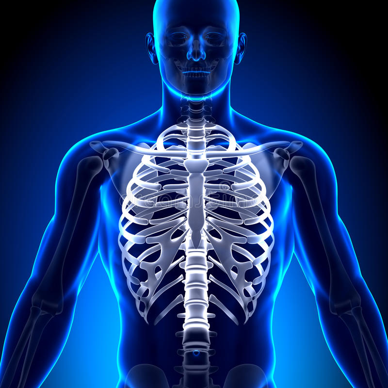 Rib Cage/esternón - Huesos De La Anatomía Stock de ilustración ...