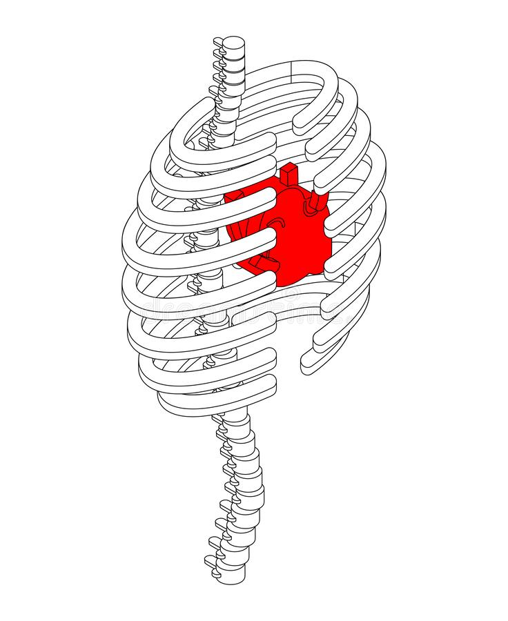 Rib cage and heart isometric style. Ribs anatomy body 3D. Intern vector illustration