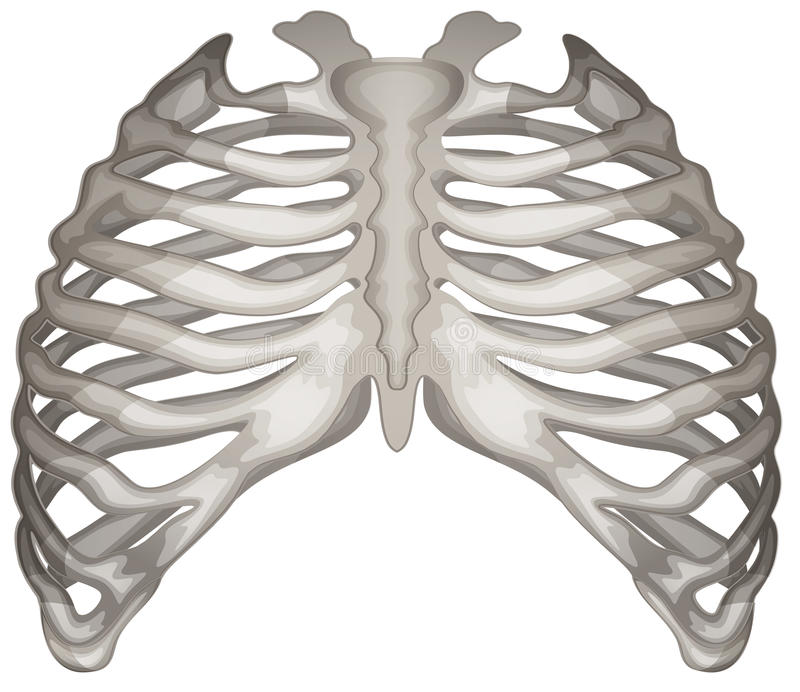 Rib cage royalty free illustration