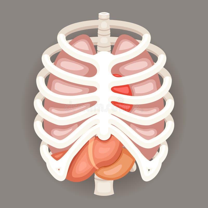 Rib cage lungs heart liver stomach iinternal organs icons and download rib cage lungs heart liver stomach iinternal organs icons and symbols retro cartoon design vector ccuart Gallery