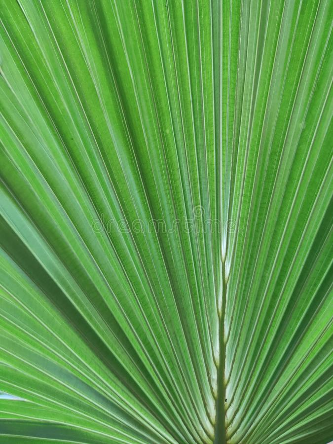 Ribbed Palm leaf background stock photos