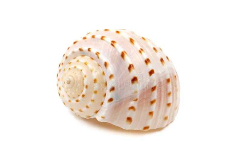Ribbed Seashell