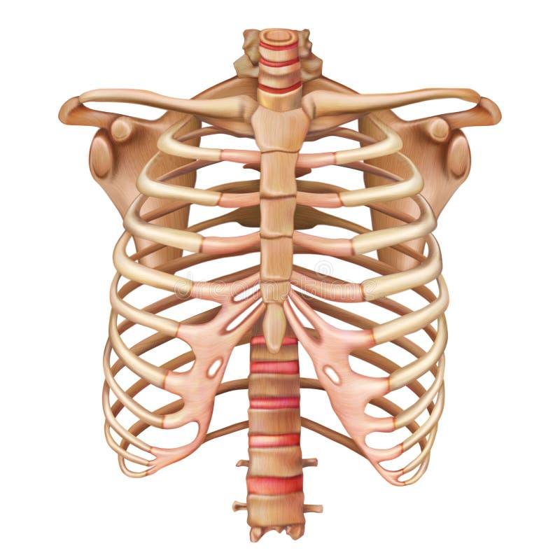 Ribbenkastbeenderen Menselijk skeletachtig systeem anatomie vector illustratie