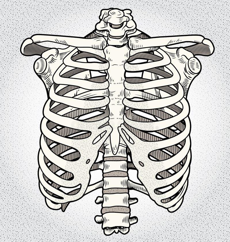 Ribcage stock illustration. Illustration of anatomy, illustration ...